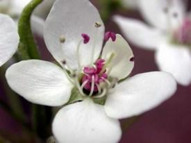 PearBlossom9