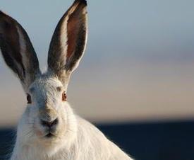 Wild_Hare