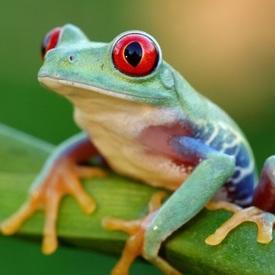 Frogfisg