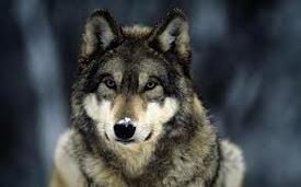 czechwolf52